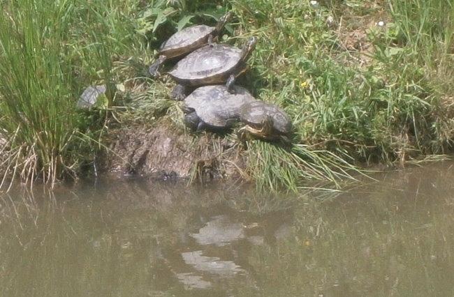 Schildkröten-Sandwich im Forstgarten