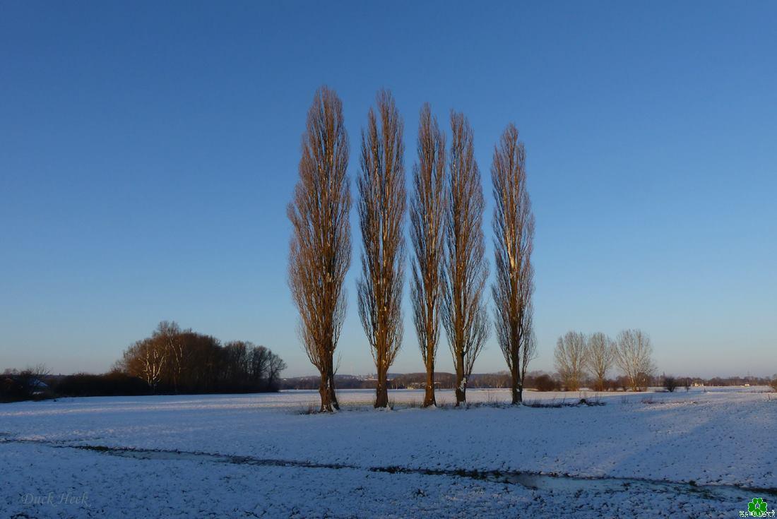 Stolze Winterpappeln im Kleverland