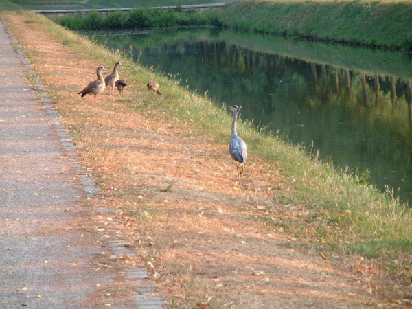 Fischreiher am Prinz Moritz Kanal