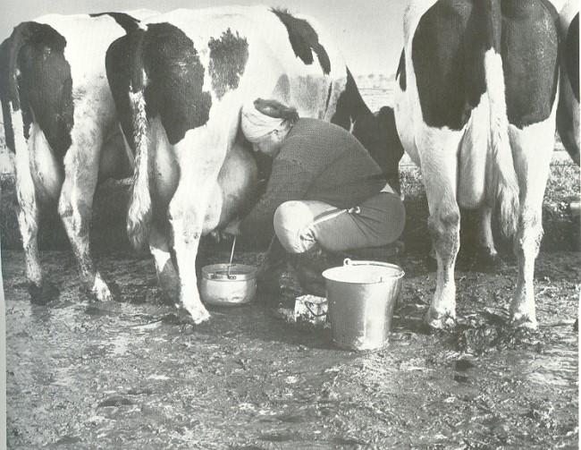 Als Kühe in Kleve noch von Hand gemolken wurden