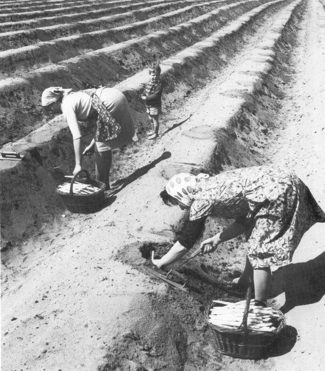 Net zoals vandaag: aspergeprikken in de jaren vijftig