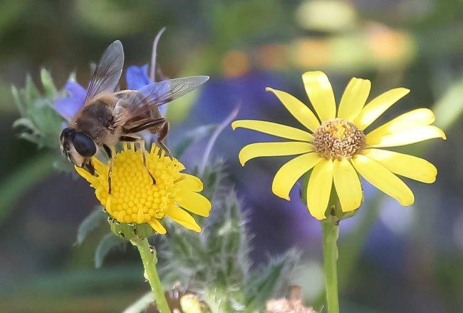 Hast Du die auch noch im Garten? Bienen und Hummeln in Kleve
