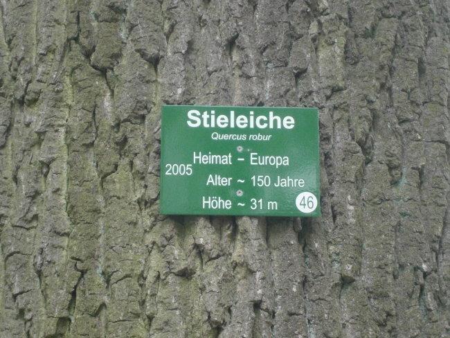 Kennst Du den Quercus robur aus Kleve?