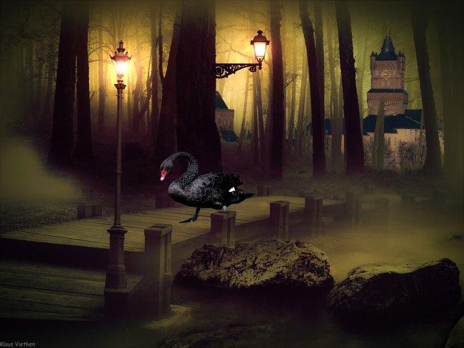 Zeldzaamheid! Black Swan - de zwarte zwaan van Kleve