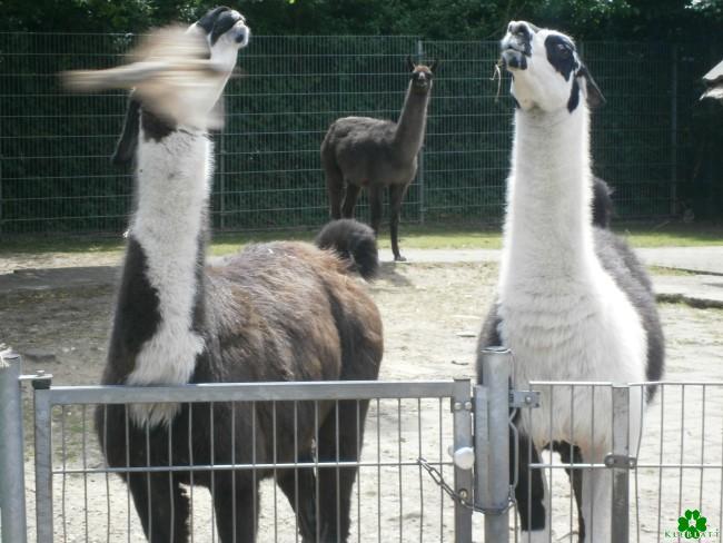 Besuche doch mal die Lamas im Klever Tiergarten