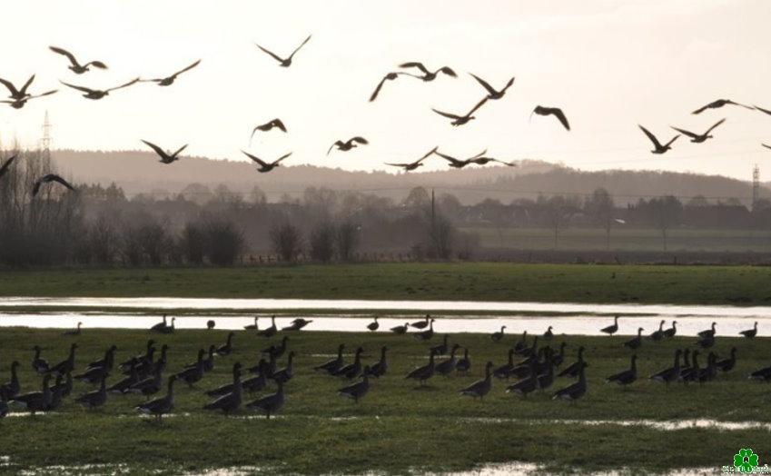 Heb je ooit de ganzen gezien in het natuurreservaat Mehr?
